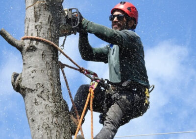 this is an image of tree removal in chino hills, ca